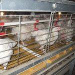 Клетки для цыплят-бройлеров своими руками