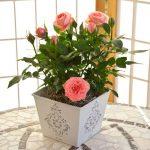 Как с помощью черенка из свеклы вырастить розу в домашних условиях
