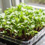 3 секрета выращивания микрозелени на подоконнике